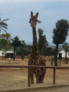 Zoo Safari: Le Giraffe