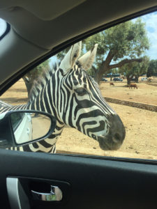 Zoo Safari: Le Zebra